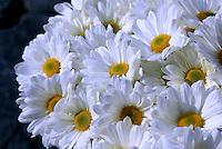 Flores. Crisântemos ( Dendranthema grandiflorum). SP. Foto de Manuel Lourenço.