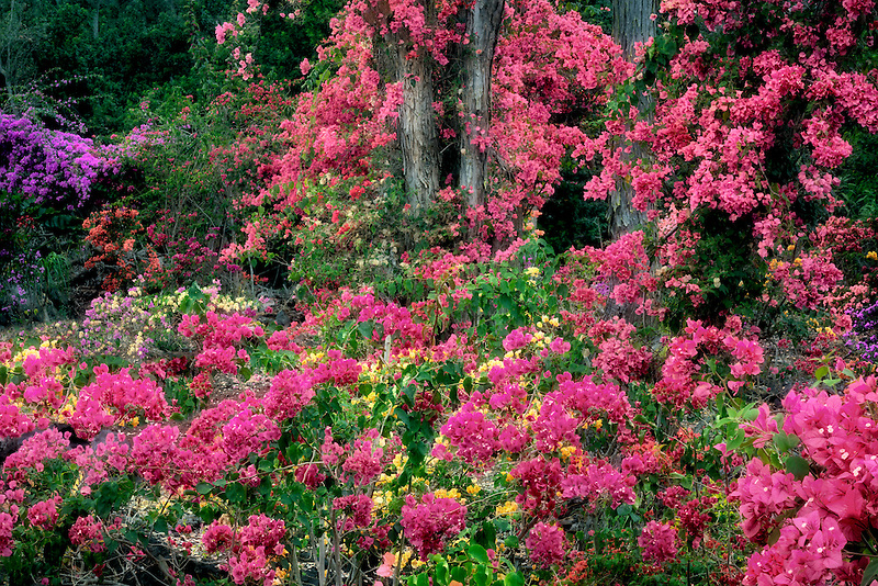 Bougainvillea garden. Hawaii (The Big Island)