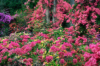 Bougainvillea garden. Hawaii (The Big Island)