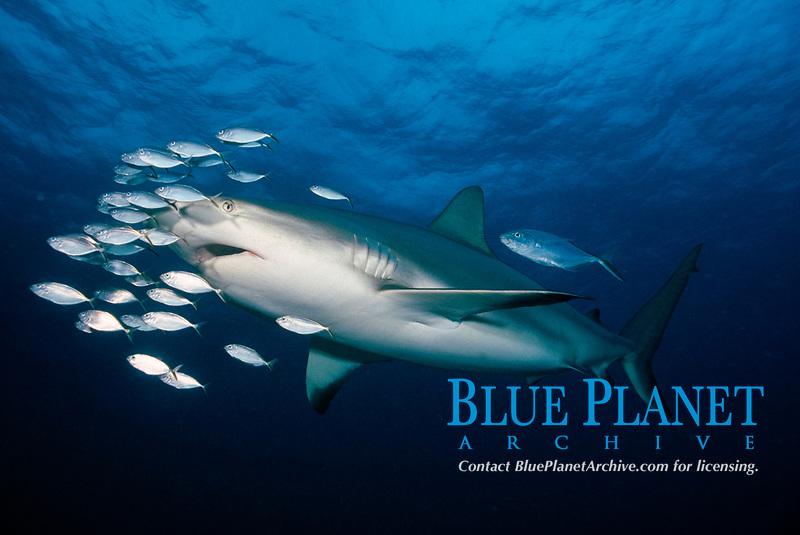 Caribbean reef shark, Carcharhinus perezii, with juvenile bar jacks, Caranx ruber, Bahamas, Caribbean Sea, Atlantic Ocean