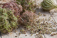 Wilde Möhre, Samen, Samenstände, Kräuterernte, Saat, Möhre, Daucus carota, Daucus carota subsp. carota, Wild Carrot, Carrot, bird's nest, bishop's lace, Queen Anne's lace, seed, seeds, La carotte sauvage