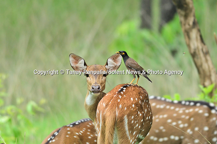 """CAN I HAVE A BIRD IN YOUR EAR...... A common myna bird hitches a lift on the back of an inquisitive deer in a reserve in central India.<br /> <br /> The moment was captured by chartered accountant Tanay Panpalia at the Pench National Park in Madhya Pradesh.<br /> <br /> Tanay, 28, from Nagpur City, in India said, """"The bird was looking for small insects which are usually found on spotted deer.  She was comfortable with the bird's presence, they almost looked like old friends as she give the bird a ride.""""<br /> <br /> Please byline: Tanay Panpalia/Solent News<br /> <br /> © Tanay Panpalia/Solent News & Photo Agency<br /> UK +44 (0) 2380 458800"""