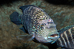 Jack dempsey cichlid swimming 45 degrees to camera