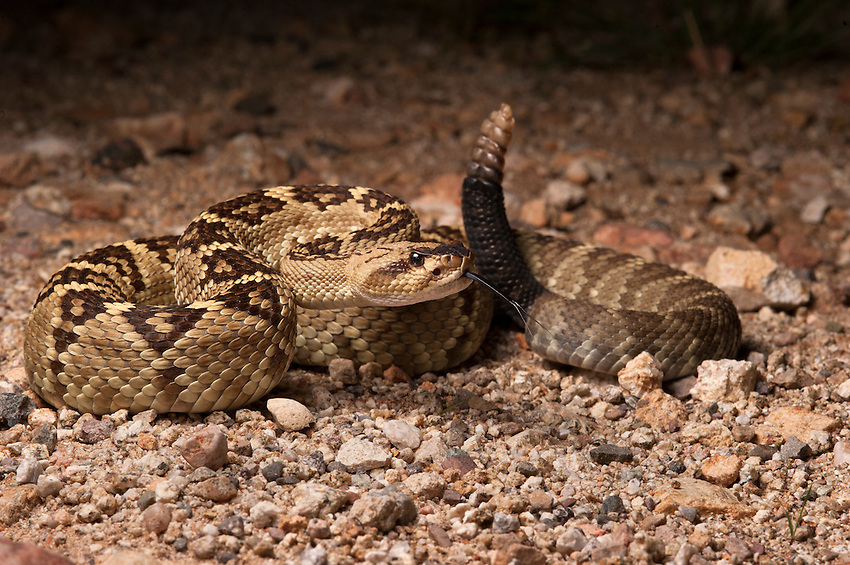 Black-Tailed Rattlesnake -  Crotalus molossus - A rattlesnake I've wanted to see for a long time, this beautiful species tends to live in rocky, mountainous areas.