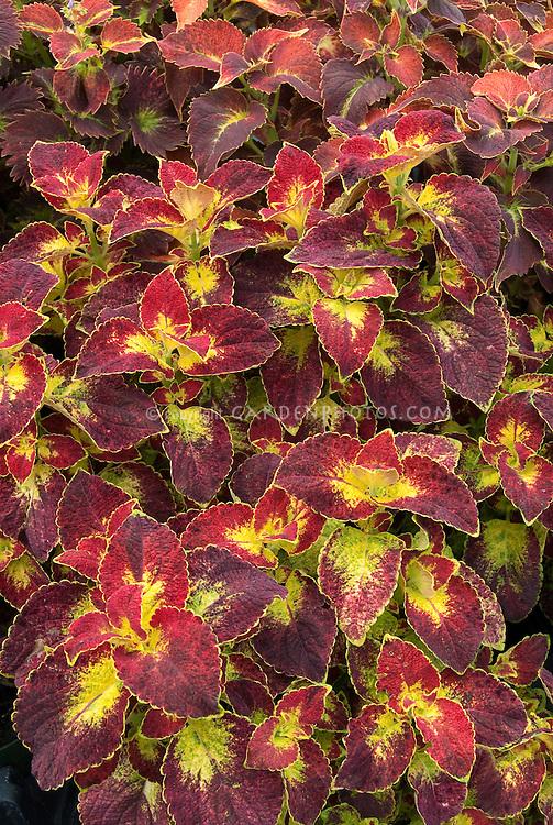 Soleonstemon coleus 'Florida City, red and yellow foliage annual plant