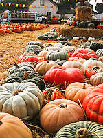 Fall colors of orange and red top the list of hues found among pumpkins and other gourds typical of the Halloween offering at Pumpkin Depot, Half Moon Bay, California.