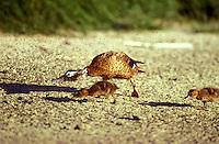 Laysan Duck and ducklings, eating brine flies, Laysan I. Endangered Species