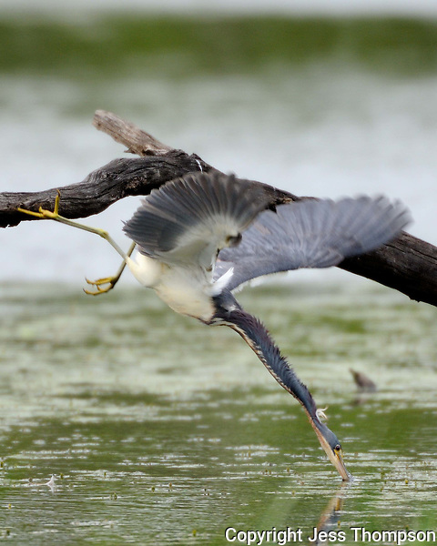 Tri-colored Heron dives into water for food, Brazos Bend State Park, TX