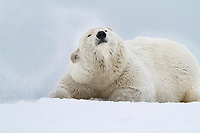 Polar bear shakes snow from its fur on a snow covered island in the Beaufort Sea, Arctic National Wildlife Refuge.