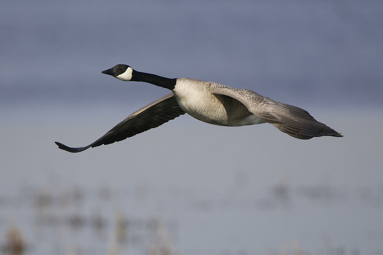 Canada Goose in flight over a marsh