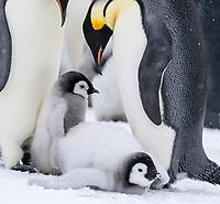 Snow Hill Island, Antarctica. Juvenile Emperor penguin taking a rest.
