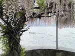 Italien, Lombardei, Comer See, Menaggio: Glyzinen-Strauch (Schlingpflanze) Wisteria, Blauregen, Glyzinien, Glycinien, Schmetterlingsblueter | Italy, Lombardia, Lake Como, Menaggio: Wisteria, Glycinien, Glycinen,