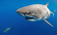 great white shark, Carcharodon carcharias, escorted by rough-toothed dolphin, Steno bredanensis, Oahu, Hawaii, USA, Pacific Ocean
