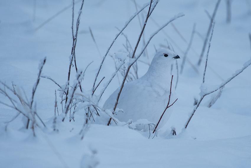 A Willow Ptarmigan near Eureka, Alaska. Photo by James R. Evans