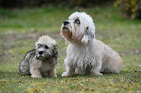 BNPS.co.uk (01202 558833)<br /> Pic: ZacharyCulpin/BNPS<br /> <br /> One of the rare puppies with his grandfather Basil. <br /> <br /> Pictured:  A new litter of Dandie Dinmont Terriers, only 87 puppies were born last year. <br /> <br /> Has this breed of dog had its day?<br /> <br /> There are fears the otterhound, Britain's rarest breed of dog, is on the verge of extinction after just seven puppies were born last year.<br /> <br /> While the coronavirus lockdowns sparked record sales of puppies like Labradors and French Bulldogs, the same can not be said for some traditional British species.<br /> <br /> Chief among them is the otterhound, one of Britain's oldest breeds that dates back to the 12th century.