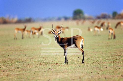 Lukulu Game Management Area, Zambia. Wildlife game reserve; Lechwe deer.