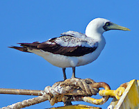 Adult masked booby