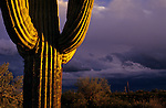 Saguaro cactus sunset at dusk Arizona State USA