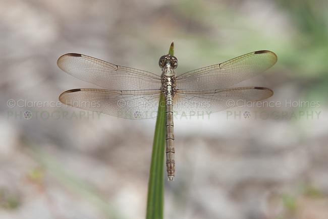 Band-winged Dragonlet (Erythrodiplax umbrata) Dragonfly - Female, Lakes Regional Park, Fort Myers, Lee County, Florida