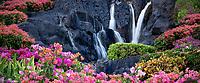 Bougainvillea flowers and waterfall at garden in Kauai, Hawaii