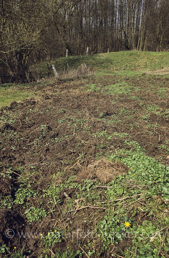 Wildschwein, Wild-Schwein, Schwarzwild, Spuren der Nahrungssuche auf einer Wiese, Boden wurde auf der Suche nach Fressbaren aufgebrochen, Wildschaden, Sus scrofa, Wild boar, Sanglier d´Europe