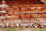 Argali (Ovis ammon) ram and Siberian Ibex (Capra sibirica) boar skulls, Besh Moinok, Tien Shan Mountains, eastern Kyrgyzstan