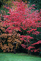 Autumn leaf colour, early November. Red Japanese maple (Acer japonicum) and orange smoke bush (Cotinus coggygria).