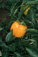 'Gold Standard' Orange-Gold bell pepper, Capsicum vegetable, sweet pepper