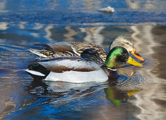 Mallard duck pair in Montana