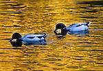 BIRDS ON GOLDEN POND