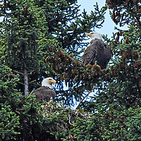 A nesting pair of Bald Eagles sit and guard their nest high in an evergreen tree near Seward, Alaska.
