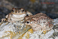 1101-0807  Pair of Adult Red-spotted Toad (Southwestern United States), Anaxyrus punctatus, formerly Bufo punctatus  © David Kuhn/Dwight Kuhn Photography.