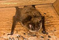 MA20-598z  Little Brown Bats, Myotis lucifugus
