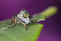 Gemeiner Strauchdieb, Raubfliege, Neoitamus cyanurus, Itamus cyanurus, Common Awl Robberfly, Awl Robberfly, robberfly, robber-fly, Raubfliegen, Mordfliegen, Asilidae, robberflies, robber flies