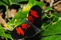 Scarlet Mormon, Papilio memnon