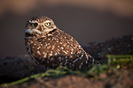 A burrowing owl (Athene cunicularia) poses at sunrise along agricultural fields west of Phoenix, Arizona, USA  (wild)