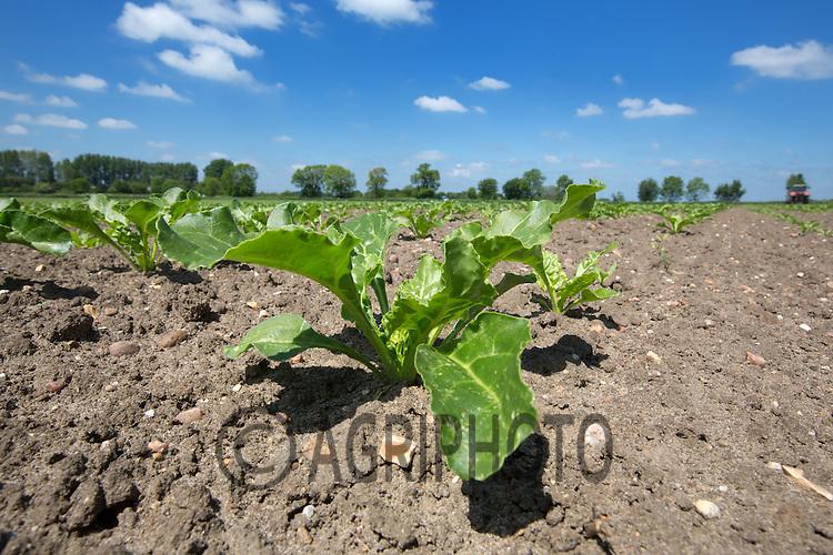 Sugar Beet Plants<br /> Picture Tim Scrivener 07850 303986<br /> tim@agriphoto.com<br /> ?.covering agriculture in the UK?.