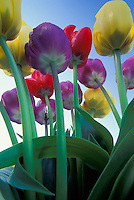 Tulips reaching for the sky