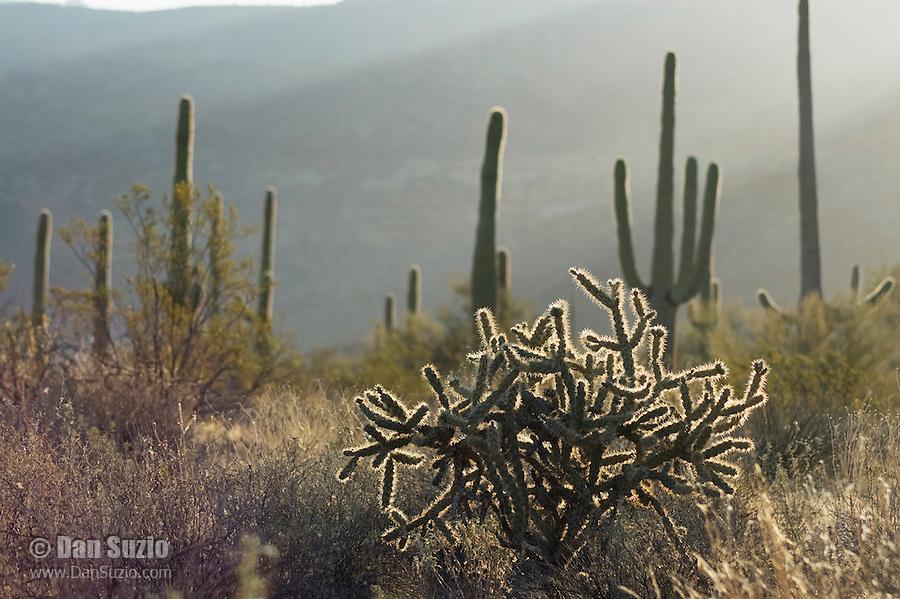 Buckhorn cholla, Opuntia acanthocarpa, and Saguaro, Carnegiea gigantea (Cereus giganteus). Organ Pipe Cactus National Monument, Arizona.
