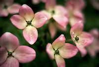 Close up of dogwood blossoms. Oregon