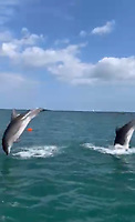 BNPS.co.uk (01202 558833)<br /> Pic: PhilipPalmer/BNPS<br /> <br /> Video download link: https://we.tl/t-v61YROkoPF.<br /> <br /> Pictured: Dolphins leaping out of the water.<br /> <br /> This is the amazing moment two dolphins put on an acrobatics display for thrilled revellers in a British bay.<br /> <br /> The friendly mammals chased after a power boat and then leapt 6ft out of the water, crossing over each other, right next to it.<br /> <br /> The charming scene was captured during an outing in Swanage Bay, Dorset, by a local watersports activity company.<br /> <br /> Phil Palmer, 38, of Pierhead Watersports, said the dolphins followed their boat, which was towing a rubber ring, all day.