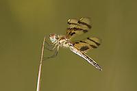 Halloween Pennant (Celithemis eponina) Dragonfly - Female, Ward Pound Ridge Reservation, Cross River, Westchester County, New York