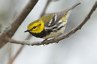 Black-throated Green Warbler (Dendroica virens). Male, in breeding plumage, early spring migration. Lake Erie, Ohio, USA.