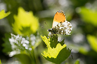 Aurorafalter, Männchen, Aurora-Falter, Anthocharis cardamines, orange-tip, male, L'Aurore, Piéride du cresson, Weißlinge, Pieridae, an Knoblauchsrauke, Knoblauchrauke, Alliaria petiolata