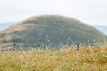 Bobcat (Lynx rufus) in grassland, Point Reyes National Seashore, California