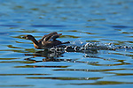 Pied-Billed Grebe Display, Non-Breeding Plumage, Sepulveda Wildlife Refuge, Southern California