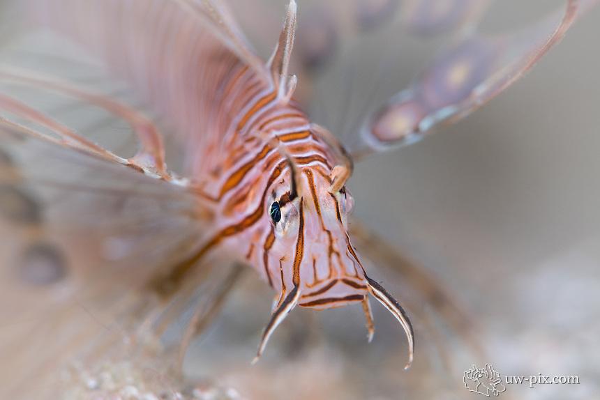Juvenile Lionfish in Indonesia