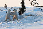 A polar bear peeks out from her den, watching over her two polar bear cubs play fighting in Manitoba, Canada.
