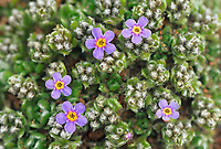 Mountain Forget me not, Alaska state flower, St. Paul, Pribilof Islands, Alaska