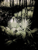 Infrared palmetto in Beibler Audobon Reserve, South Carolina